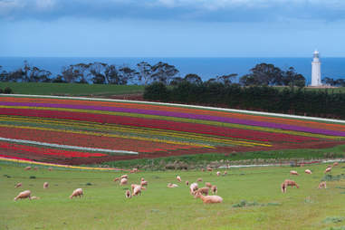 Table Cape Tulip Farm and Lighthouse