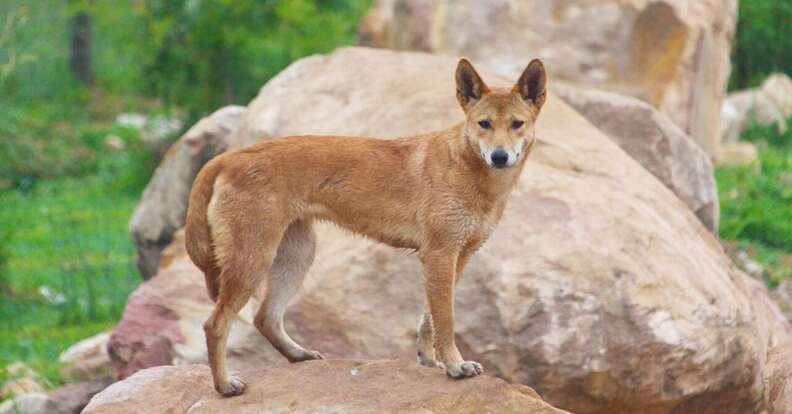 Rescued dingo at sanctuary
