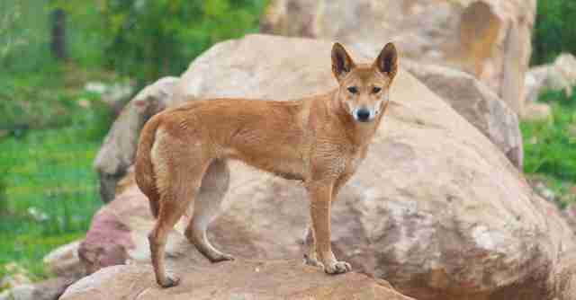 Rescued dingo at sanctuary