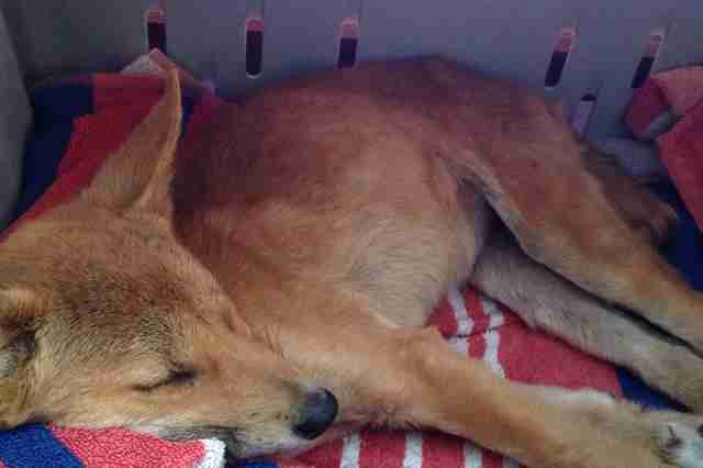 Rescued dingo puppy