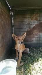 Rescued dingo puppy