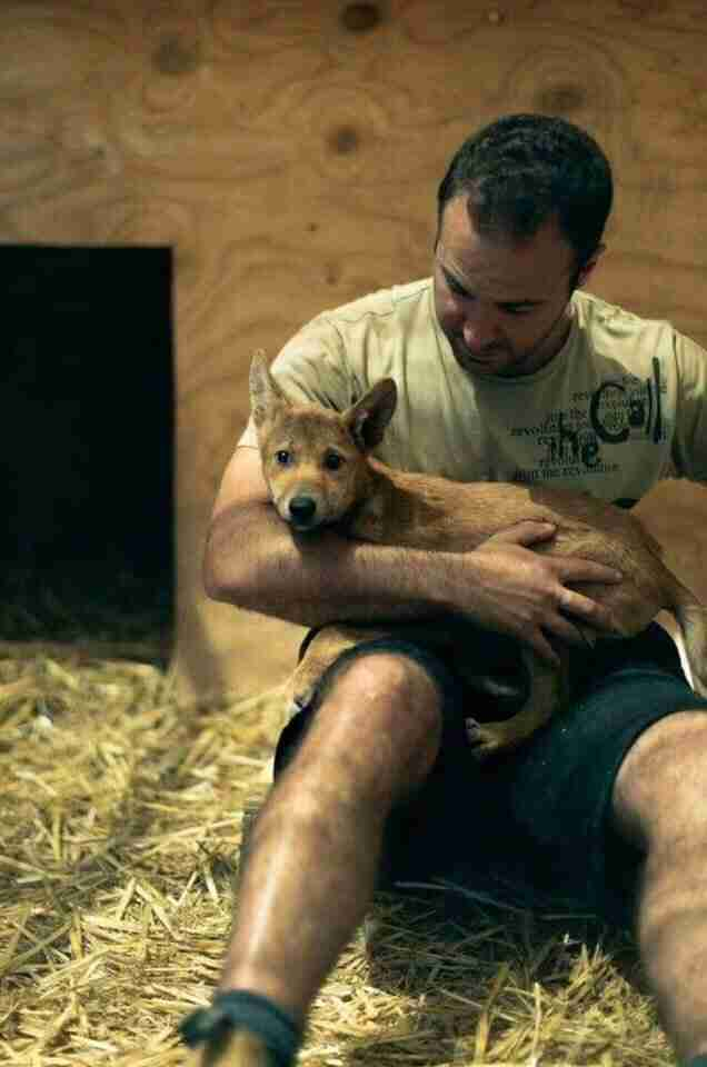 Man holding rescued dingo puppy