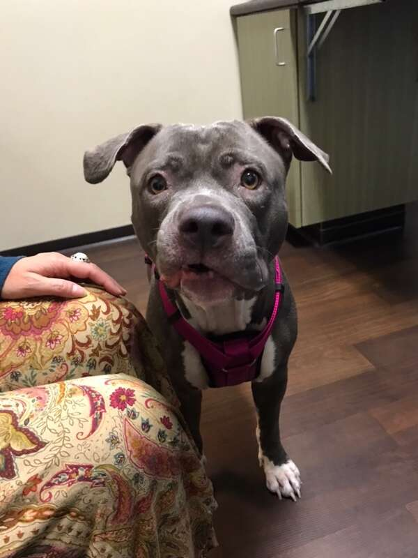 Rescued pit bull dog