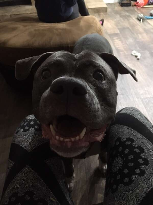 Rescued pit bull from shelter