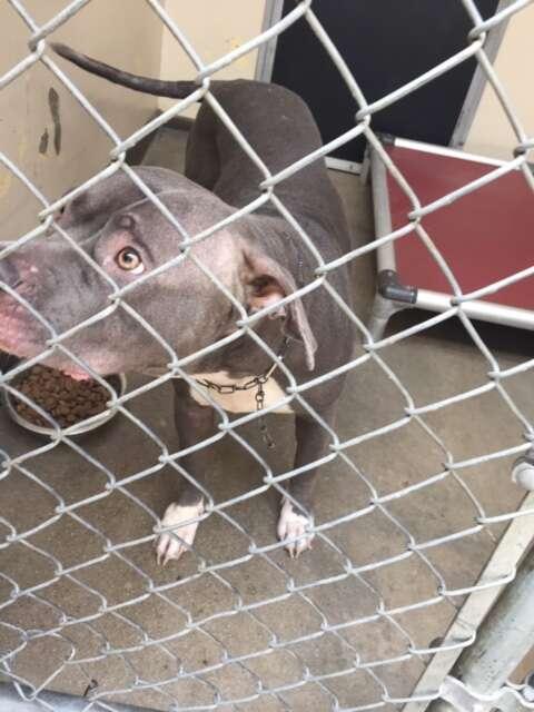 Pit bull dog in shelter kennel