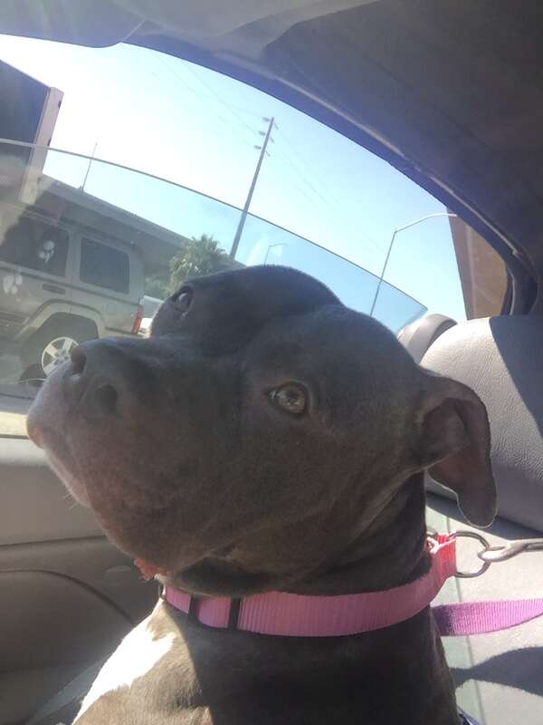 Pit bull being driven from the shelter
