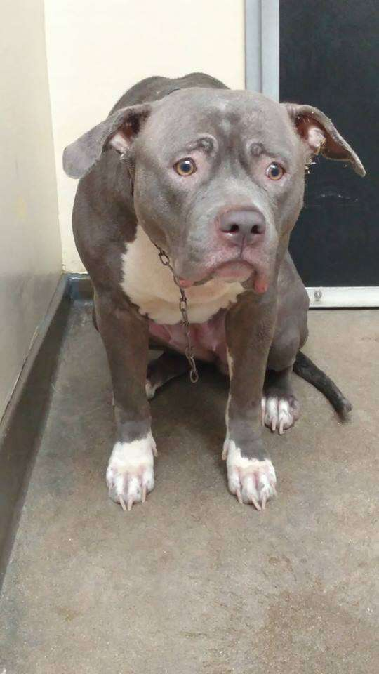 Pit bull dog abandoned at shelter