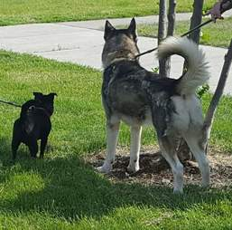 husky and chihuahua best friends
