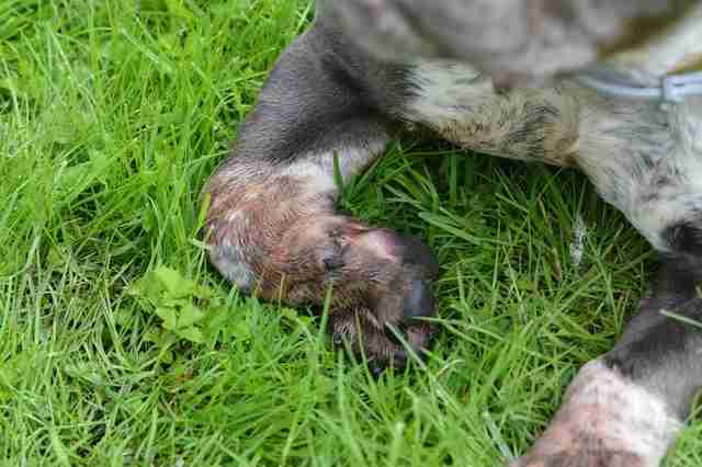 Rescued pit bull's deformed paws