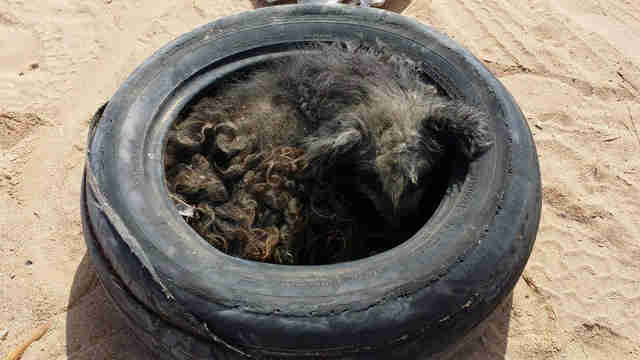 Street dog sleeping inside tire