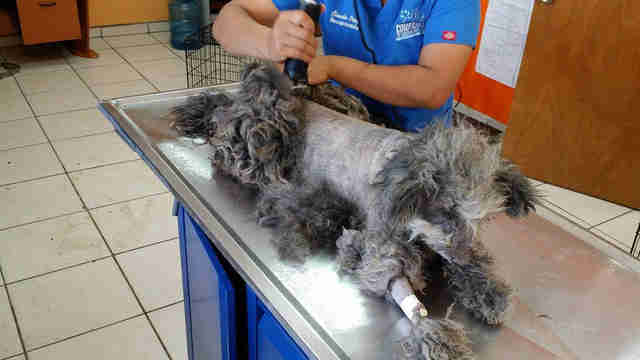 Rescued dog getting shaved