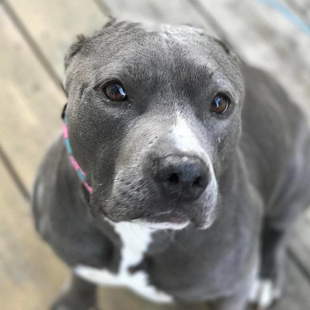 Calista the rescued pit bull