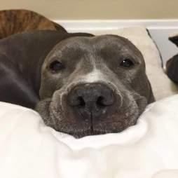 Injured pit bull resting in bed
