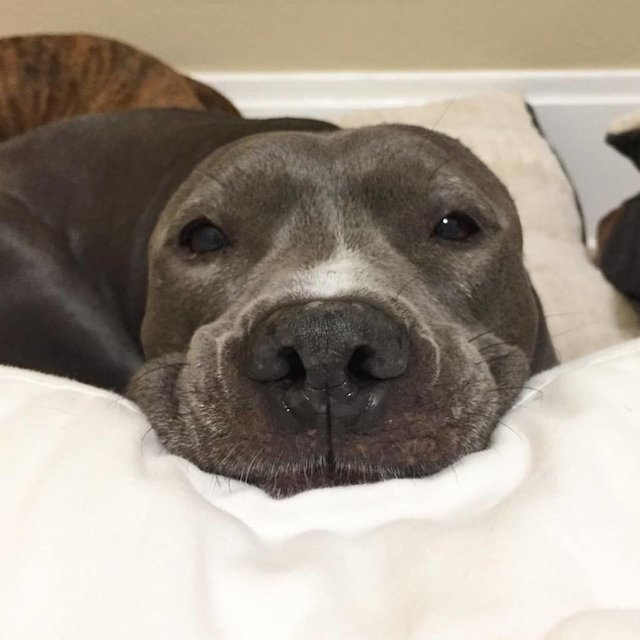 Injured pit bull resting in bed