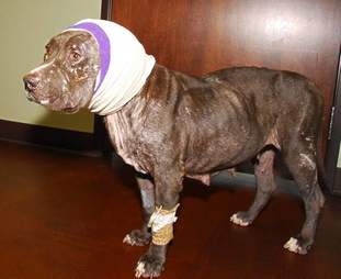 Calista the pit bull with injured ears