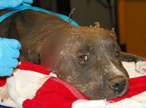 Pit bull with injured ears