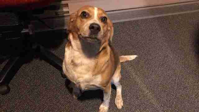 Rescue beagle inside radio studio