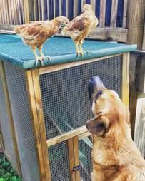 Dog watching chickens