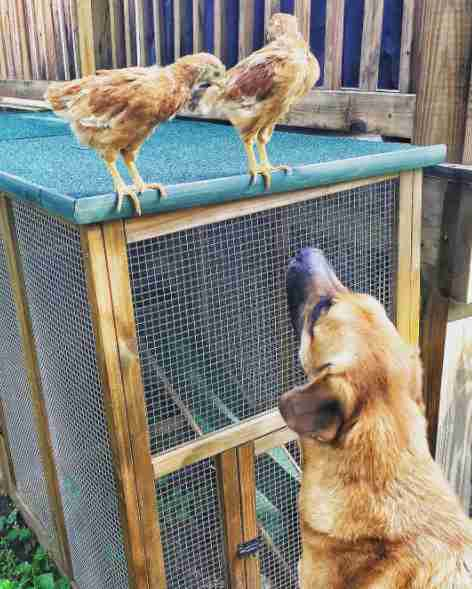 Dog watching chickens
