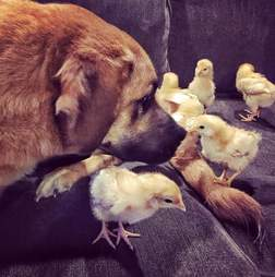 Rescue dog with baby chickens