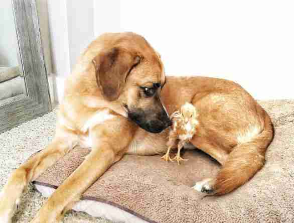 Rescue dog with baby chicken