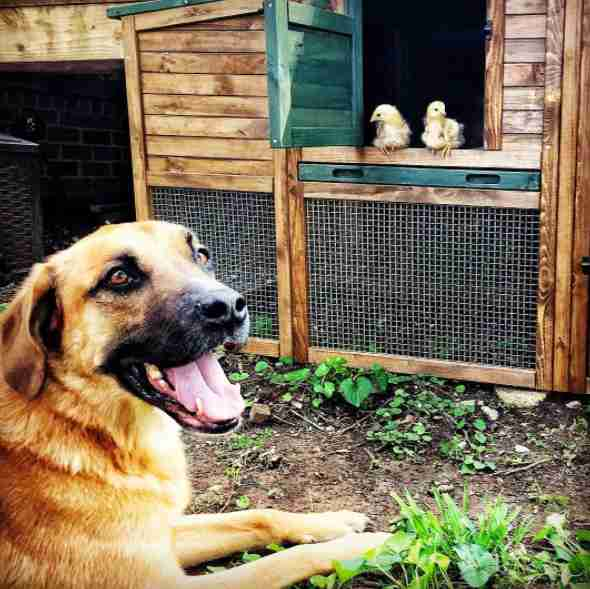 Rescue dog watching chickens
