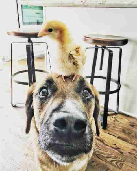 Baby chicken on top of dog's head