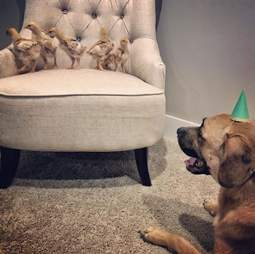 Dog watching baby chickens