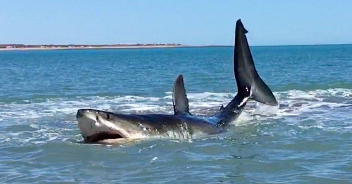 'Holy Sh**,' This Guy Found a Huge Great White Struggling in Shallow Water