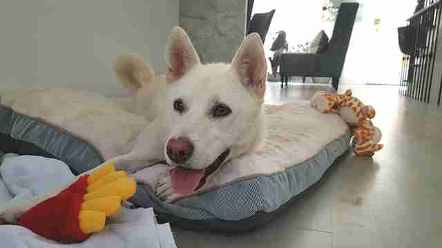 Rescued dog from South Korea in her new home