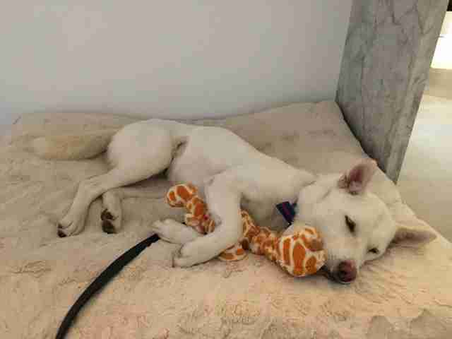 Rescued dog with toy giraffe
