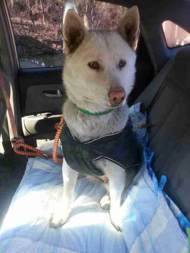 Jindo dog rescued from garbage dump