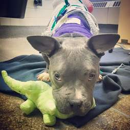 Tater Tot the rescued pit bull