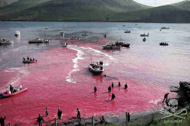 Dead pilot whales in the Faroe Islands