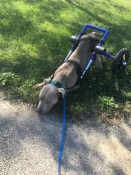 paralyzed puppy