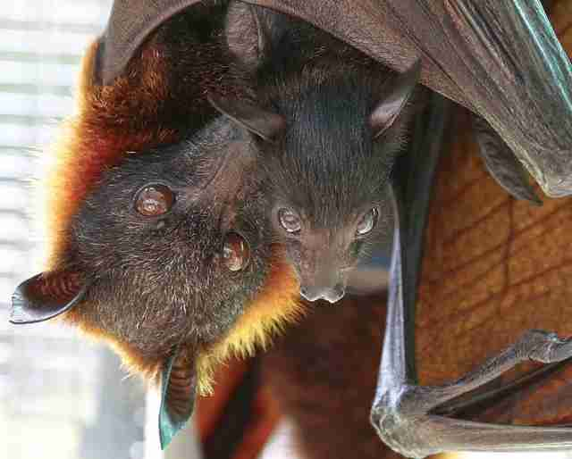 A mother bat with her offspring