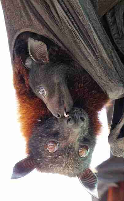 Mother and baby bat cuddling