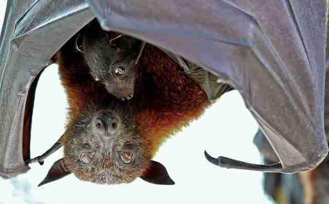 Mother and baby fruit bats
