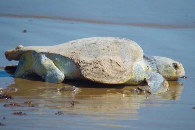 Sea turtle who survived predator attack