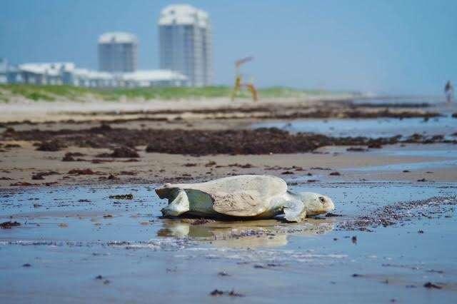 Sea turtle on beach in Texas