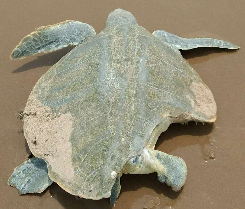 Sea turtle with bitten shell