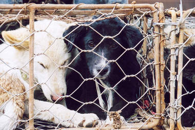 Caged dogs in China