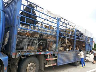 Caged dogs in transport truck