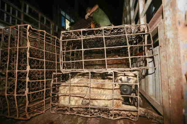 Caged dog at Yulin Festival