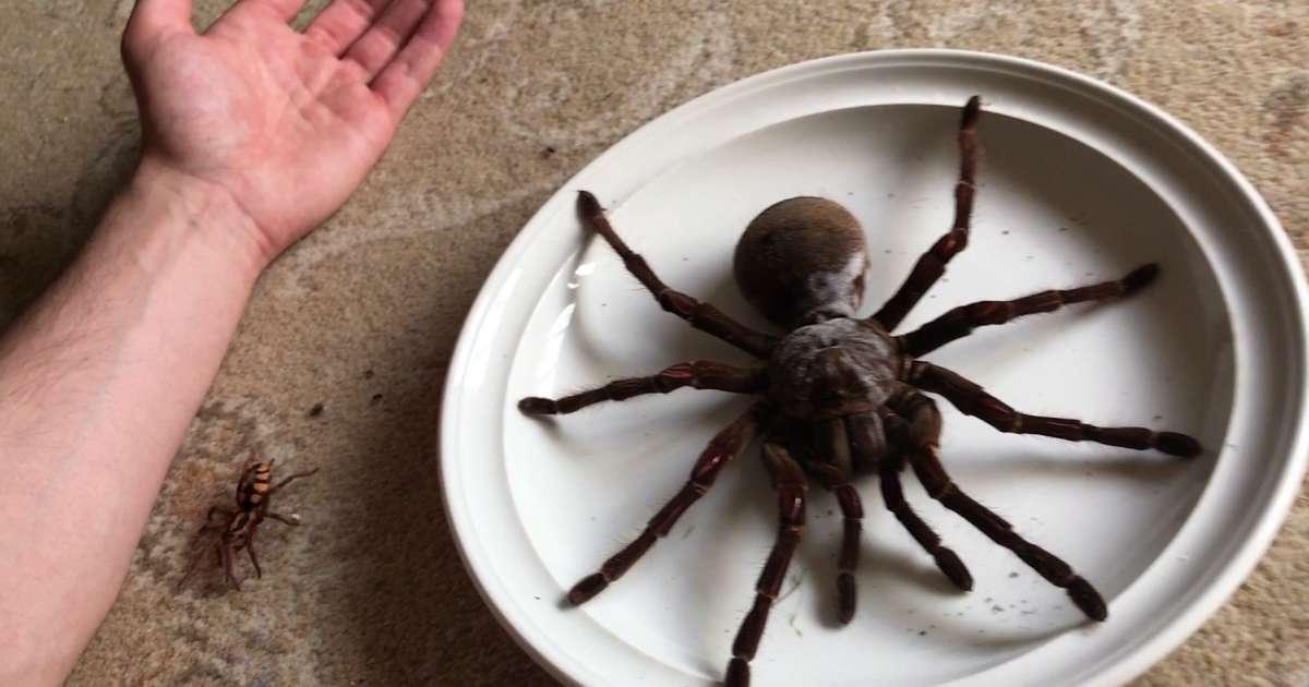 Huntsman Spider Size The Goliath Birdeater ...