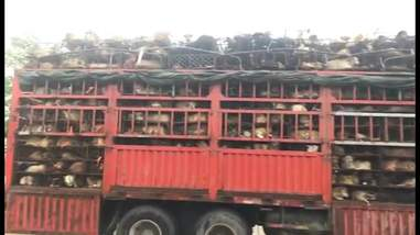 Truck carrying dogs for meat trade