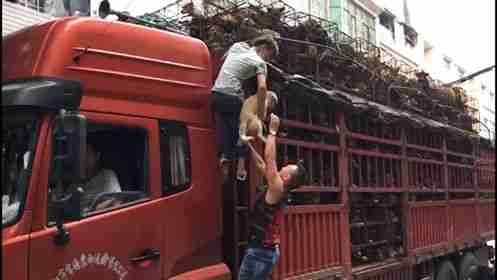 Rescuers helping dogs on a truck bound for slaughterhouse