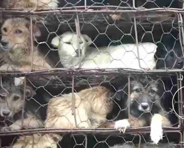 Dogs in dog meat truck