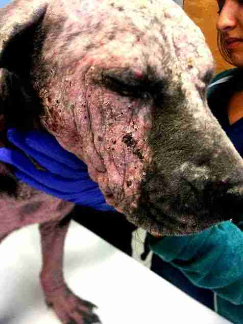 Rescued dog with mange