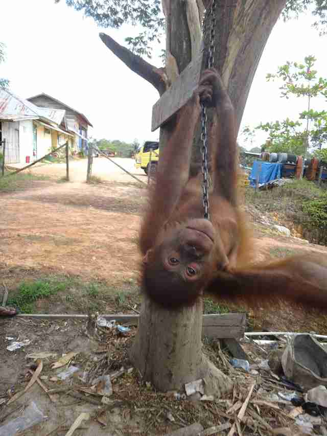 Orangutan chained to tree